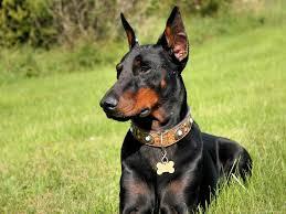 gesetzeslage schweiz hund kupieren
